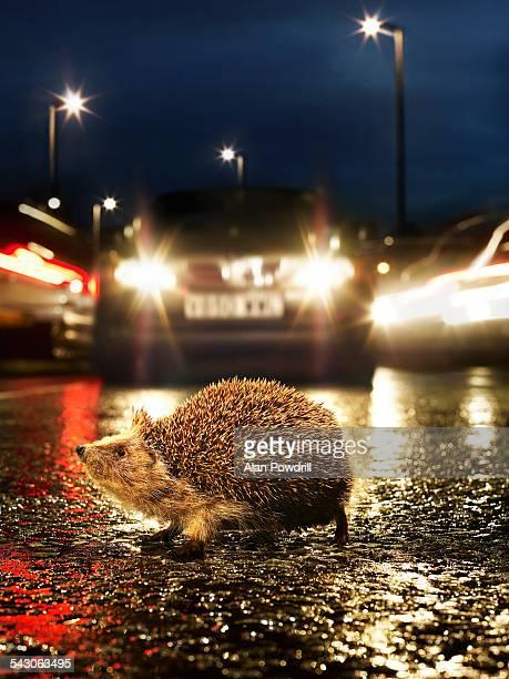 Hedgehog in road with cars behind