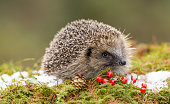 Native, Wild, European hedgehog in December with red berries, snow and green moss.  Due to climate change hedgehogs are hibernating later and later in the year.  This is a native wild hedgehog and not