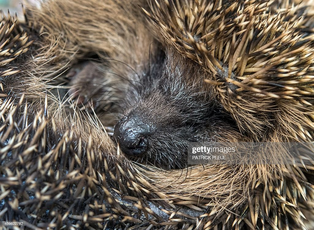 A hedgehog is pictured at a private hedgehog shelter in Neuzelle, eastern Germany, on December 2, 2014. Simone Hartung and her husband Klaus Hartung are running a private hedgehog shelter since five years and care for injured, ill or too small hedgehogs during the whole year. Actually, the couple hosts twenty hedgehogs for hibernation.