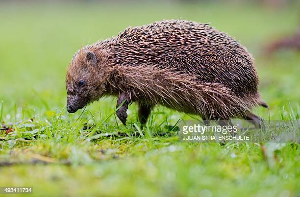 A hedgehog is pictured on October 20 2015 in Hannover AFP PHOTO / DPA / JULIAN STRATENSCHULTE GERMANY OUT