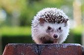 Hedgehog looking.