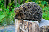 Hedgehog on the log