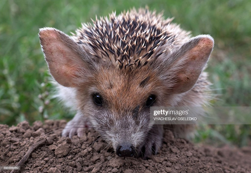 A hedgehog passes through a grassy area near the village of Gornaya Mayevka 30 km from Bishkekon August 21 2016 / AFP / Vyacheslav OSELEDKO