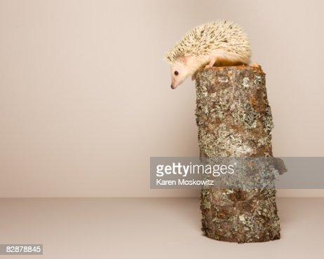 hedgehog perched on log, studio shot : Stock Photo