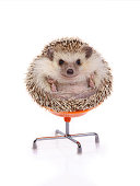 Cute hedgehog sitting on chair like ball on white background