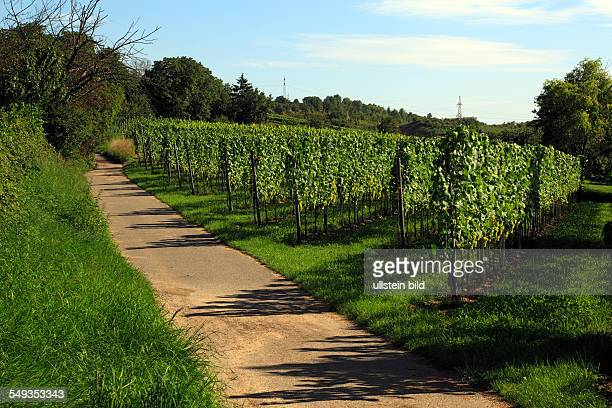 Heidelberg Rohrbach winegrowing area vineyard vine stocks grapes footpath