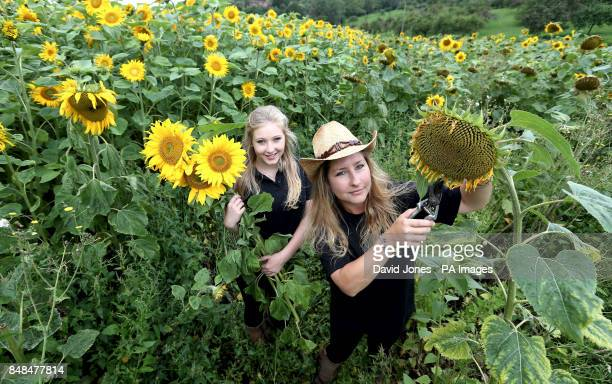 Heidi Deyus and her daughter Jess Deyus among the four acres of sunflowers at their home on Bannersbrook Farm near Worcester today