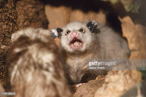 Heidi the crosseyed opossum and her mate Teddy are presented to the press at the Leipzig Zoo on June 9 2011 in Leipzig Germany On July 1st 2011...