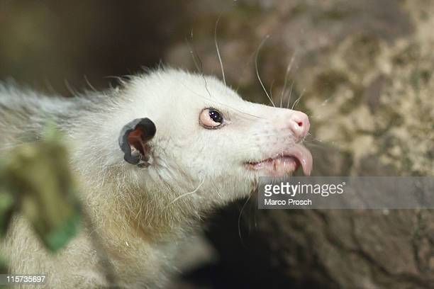 Heidi the crosseyed opossum sticks out her tongue at the Leipzig Zoo on June 9 2011 in Leipzig Germany On July 1st 2011 Leipzig Zoo will open the...