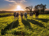 Heifers and shadows