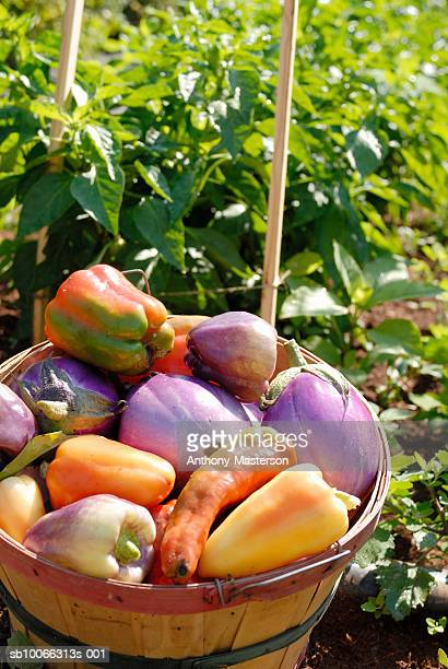 Heirloom peppers and eggplants in bucket in field, elevated view