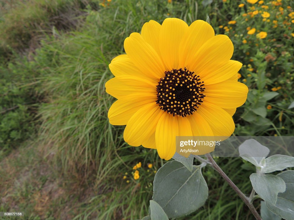Helianthus Debilis or Dune Sunflower : Stock Photo