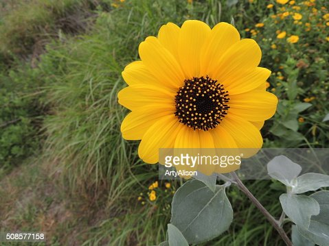 Helianthus Debilis or Dune Sunflower : Stock Photo