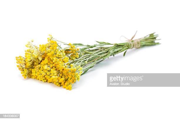 Helichrysum arenarium casco
