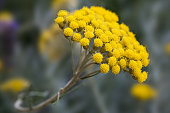 helichrysum flowers on a blurred background