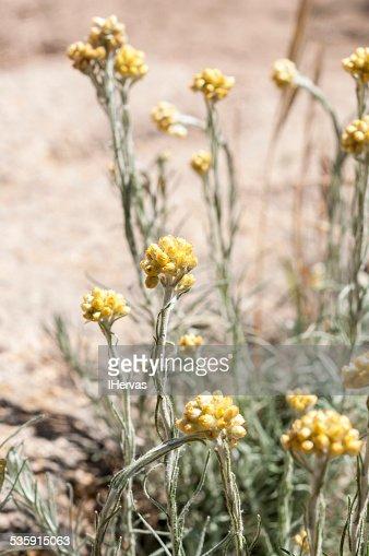 Helichrysum stoechas : Stock Photo