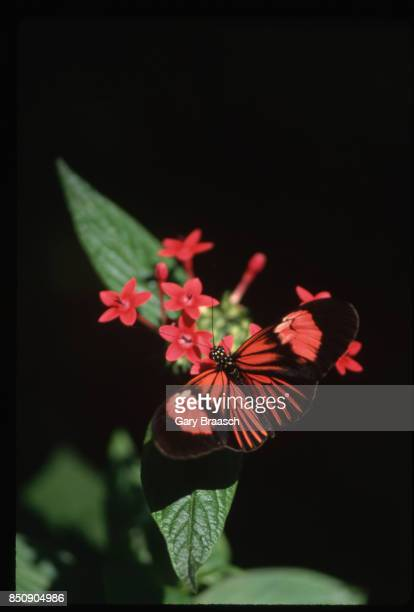 A heliconius butterfly lands on red pentas flowers displaying camouflage technique Butterfly World in Florida