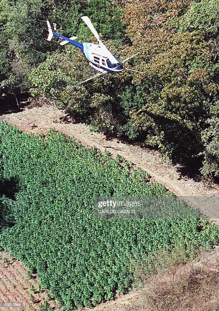 A helicopter from the Mexican National Institute for the Control of Drugs (INCD) sprays herbicides over a marijuana field 04 March in the mountains of the state of Sinaloa. The effort is part of the Mexican government's fight against drug-trafficking.