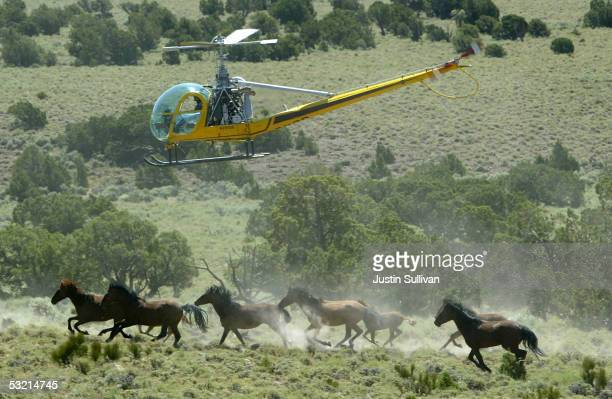 Helicopter pilot Rick Harmon of KG Livestock rounds up a group of wild horses during a gathering July 8 2005 in Eureka Nevada The US Bureau of Land...