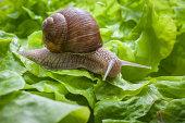 Slug in the garden eating a lettuce leaf. Snail invasion in the garden