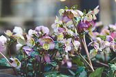 blooming christmas rose also known as black hellebore flowers potted in textured wooden container