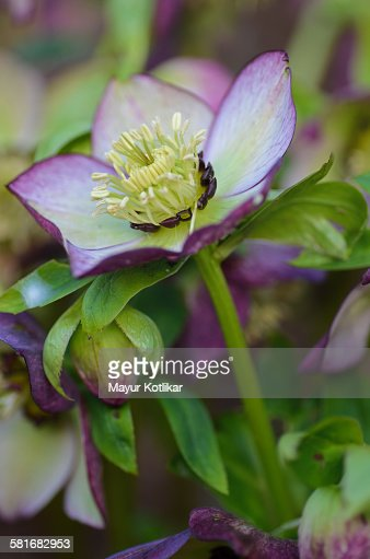 Helleborus flower : Stock Photo