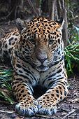 Captive Jaguar looking directly at camera, Chester Zoo, UK