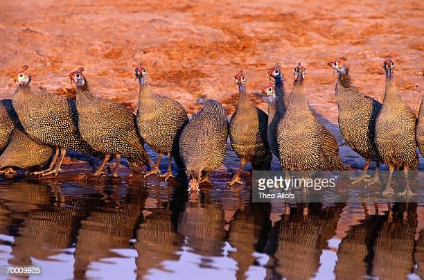Helmeted guineafowl (Numida meleagris) Chobe Nat. Park,Botswana