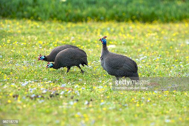 Helmeted Guineafowl, foraging among wildflowers, De Hoop   Nature Reserve, Western Cape Province, So
