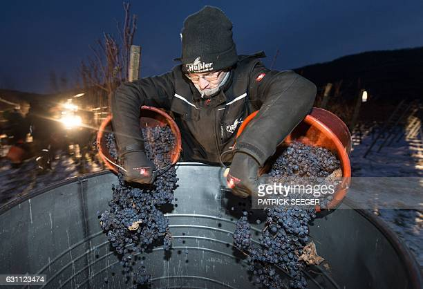 A helper gathers grapes at a vineyard in Kiechlinsbergen southern Germany on January 7 2017 The frozen grapes are gathered to produce the dessert...