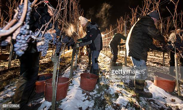 Helpers gather grapes at a vineyard in Kiechlinsbergen southern Germany on January 7 2017 The frozen grapes are gathered to produce the dessert wine...