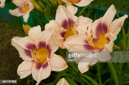 hemerocallis : Foto de stock