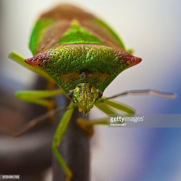 Hemipterans, Hemiptera, close-up
