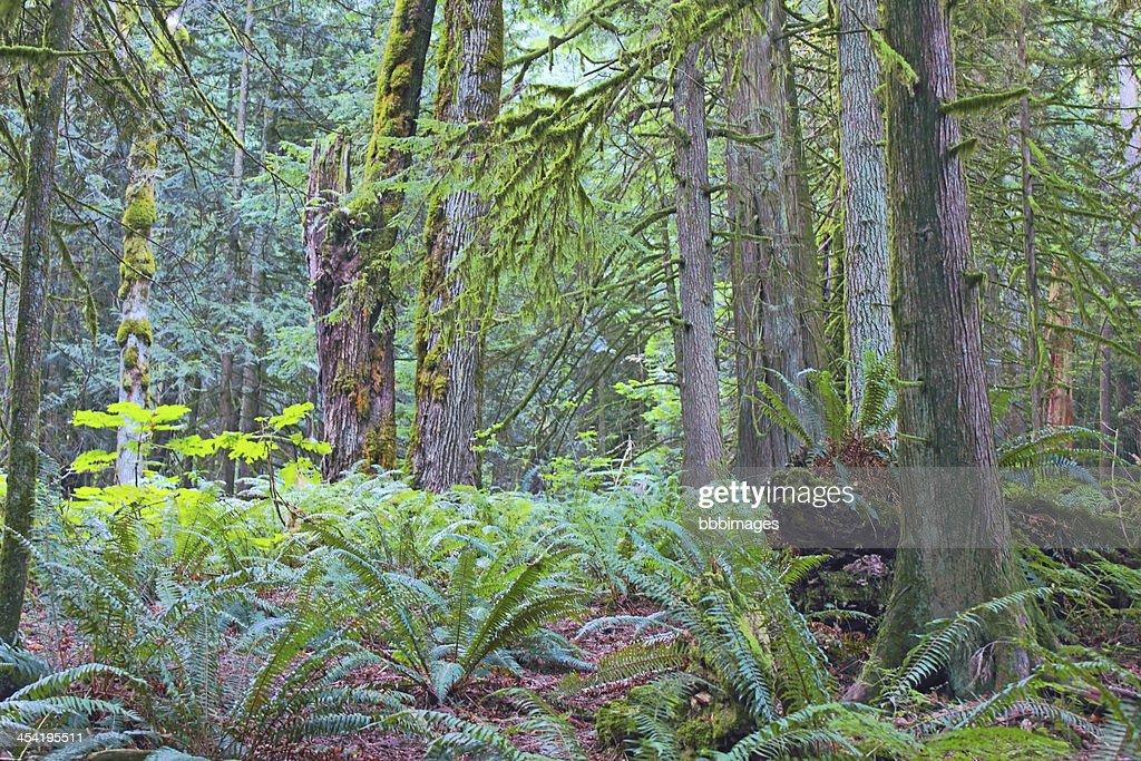 Hemlock e Cedar : Foto de stock