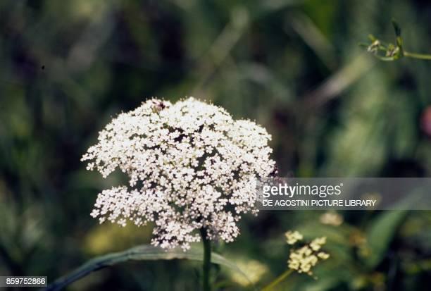 Hemlock or poison hemlock inflorescence Apiaceae