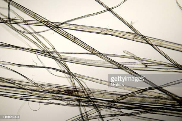 hemp fibers micrograph