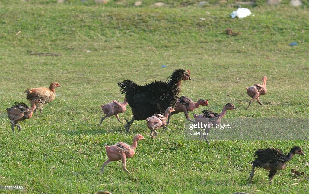 A Hen along with her featherless chicks walks passes among grass in Dimapur, India north eastern state of Nagaland on Tuesday, May 03, 2016. Photo by Caisii Mao