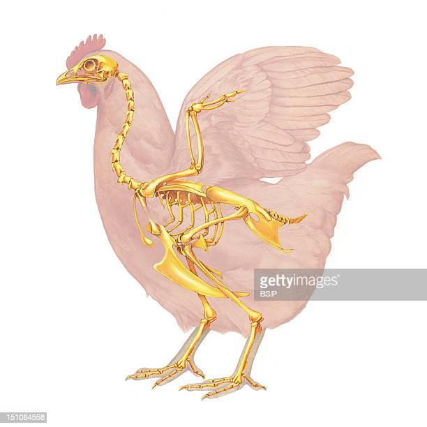 Hen Anatomy Drawing