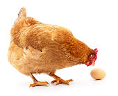 Isolated grey hen with egg in the studio