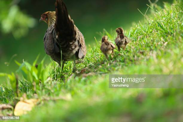 Hen on a grassy field with a chick  other chicks following