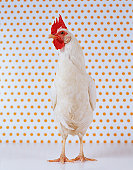 Hen Standing Indoors With Spotted Wallpaper