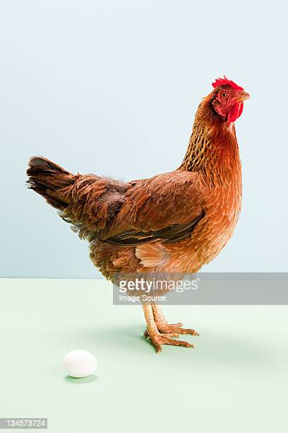 Hen standing next to egg, studio shot