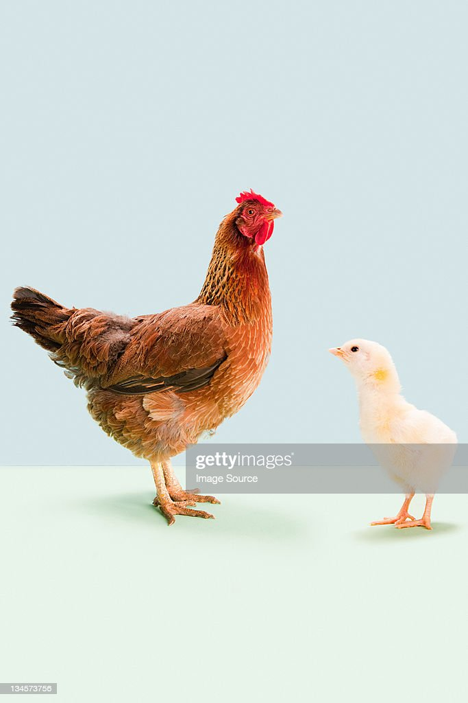 Hen standing with chick in studio