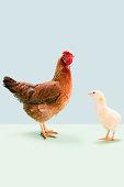 Hen standing with chick in studio