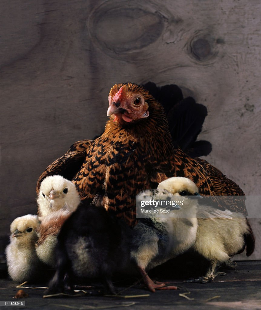 Hen with chicks : Stock Photo