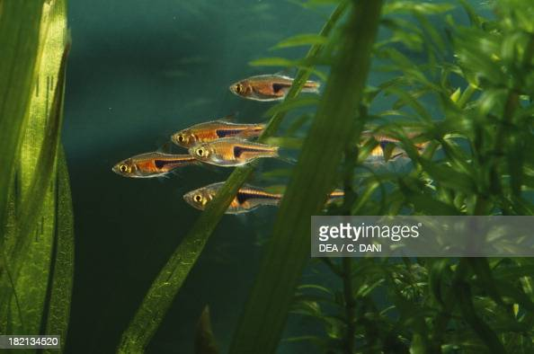 Hengels rasbora or Glowlight rasbora Ciprinidae in aquarium