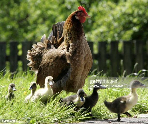 Henrietta the hen steers her seven adopted ducklings to their enclosure The ducklings mother refused to sit on the eggs so hotel owners Jackie and...