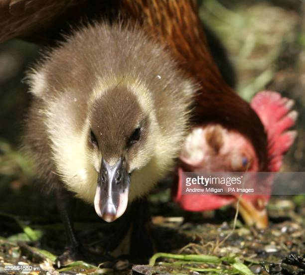 Henrietta the hen with her seven adopted ducklings at the Carronbridge Hotel The Ducklings mother refused to sit on the eggs so Hotel owners Jackie...