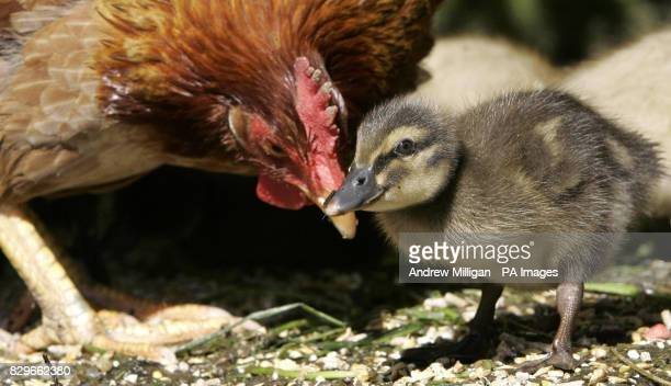 Henrietta the hen wth one of her seven adopted ducklings in their enclosure The ducklings mother refused to sit on the eggs so hotel owners Jackie...