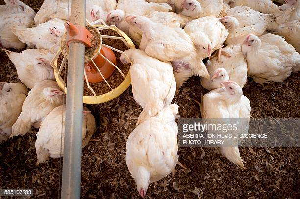 Hens feeding from a trough